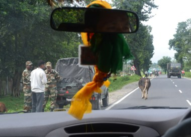 Cow Littered Streets, Taxi to Gangtok from Bagdogra, NJP, Road to Sikkim