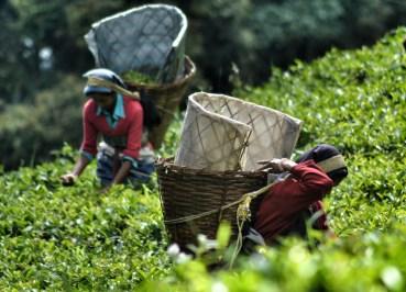 Temi Tea Gardens, Gangtok, Sikkim, Travel in Indian Himalayas, Asia