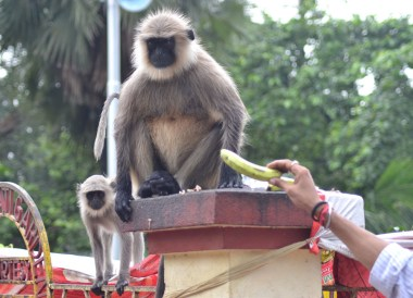Fat Unhappy Langur, Dakshineswar Kali Temple, Hooghly River, Kolkata