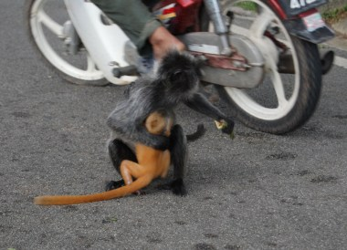 Monkey Protecting Baby Selangor, Where to Find Monkeys in Southeast Asia?
