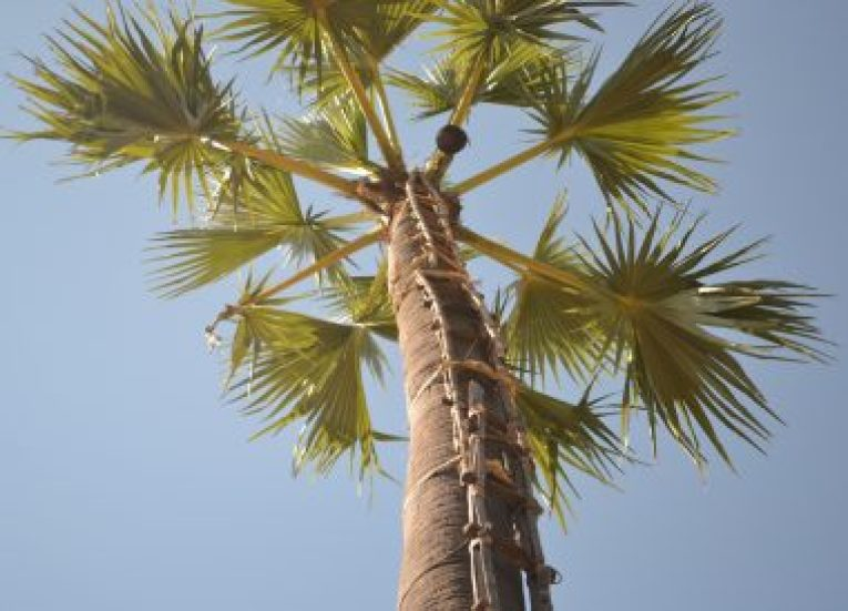 Coconut Palm Tree, Making Palm Wine in Burma, Potent Acohol from Palm Trees