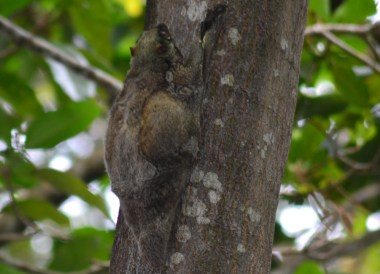 Slow Loris in Tree, Best Snorkelling in the Perhentian Islands Resort