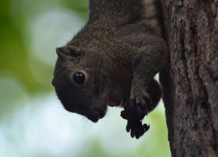 Tree Squirrel Eating Orios, No Alcohol, Perhentian Besar, Malaysia