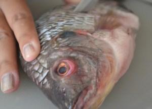 Cleaning Cutting Fresh Fish, Thai fried fish, Thailand