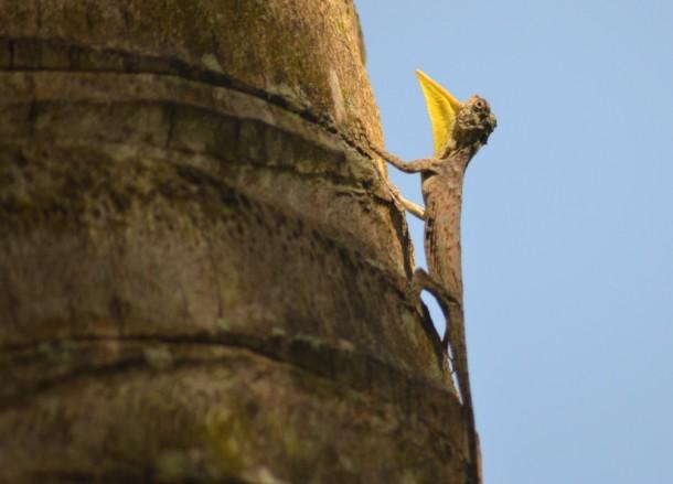 Draco Flying Lizard, Alila Ubud Resort Bali Boutique Hotel