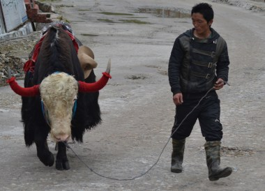 Nomad with Yak, Top Attractions in Sikkim and Gangtok