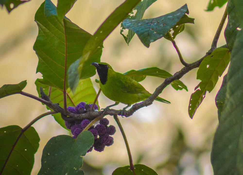 Bornean Leaf Bird, Ulu Temburong Brunei, Borneo Rainforests
