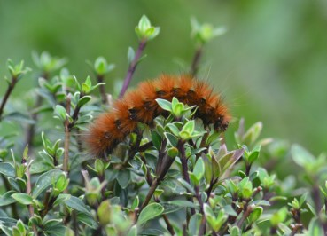 Hairy Caterpillar Climbing in Bush, Sikkim India Himalayas