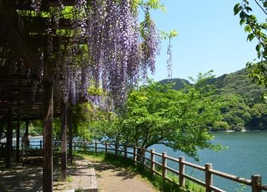 Kawachi Reservoir, Travel to Kawachi Fuji Garden and Wisteria Tunnel