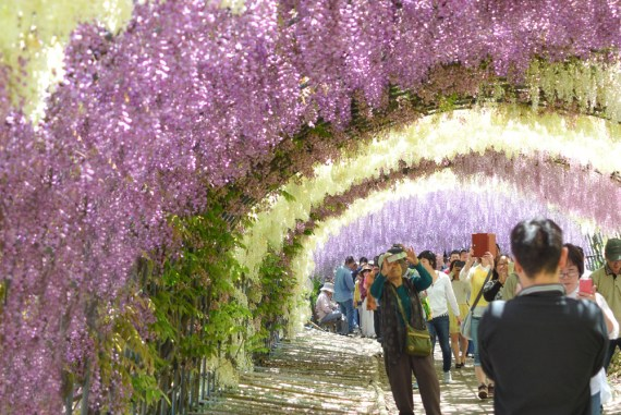 Kawachi Fuji Garden Travel To The Wisteria Tunnel In Yahata Japan