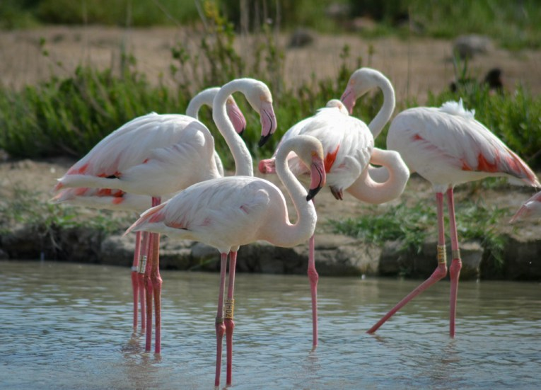 Pink Flamingos in Camargue, Road Trip in France Southern Borders June