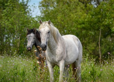 Wild Horses Camargue, Road Trip in France Southern Borders June