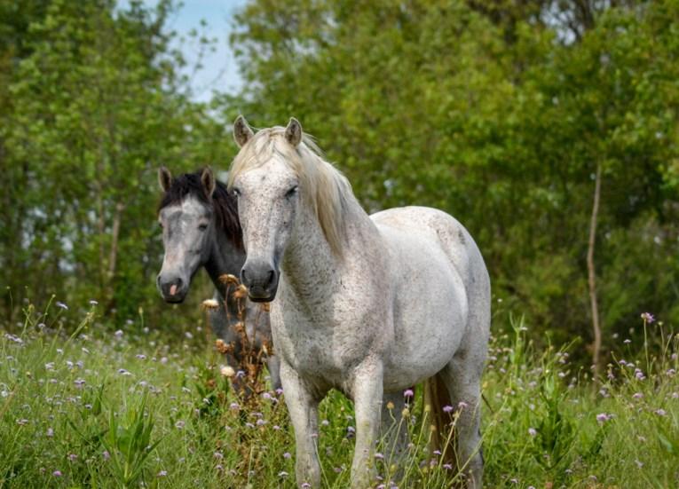 Wild Horses, Camargue National Park Provence France