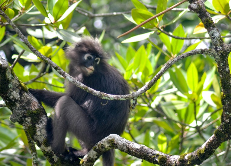 Dusky Leaf Monkeys, Top Attractions in Langkawi Island Malaysia