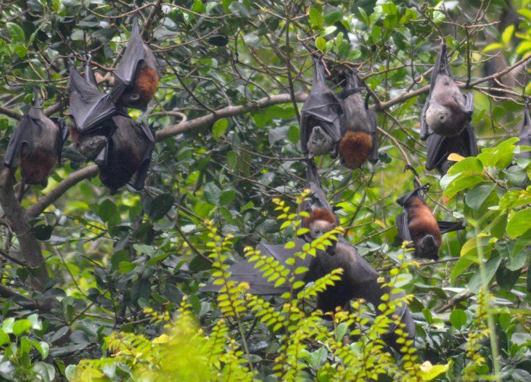 Hanging Fruit Bats, Langkawi Geoforest Park Tour Kilim, Resorts World