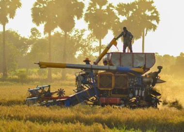 Rice Harvester, Best Book Living in Thailand Isaan: Potato in a Rice Field
