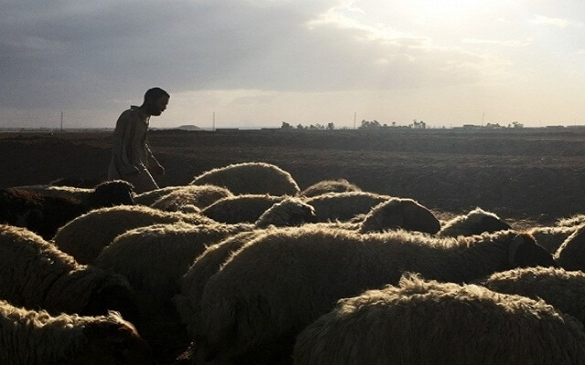 LLL-Live Let Live-ISIS terrorists steal flock of 300 sheep and kill a young civilian