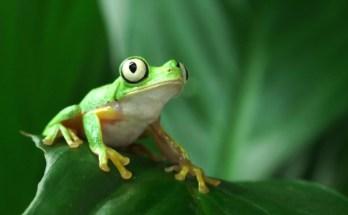 Manchester Museum - Lemur Frog
