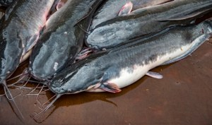 How To Start a Profitable Catfish Farming Business