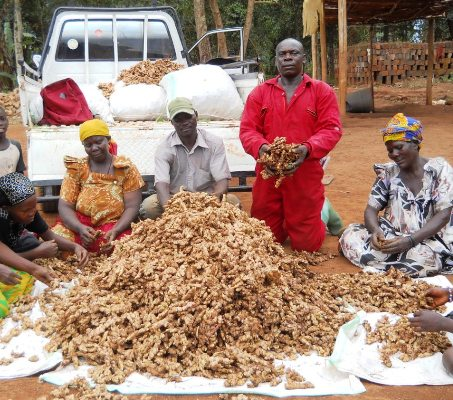 FEASIBILITY REPORT FOR GINGER PRODUCTION IN NIGERIA