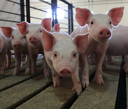 How to Start a Lucrative Pig Farming Business in Nigeria?
