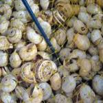 HOW TO START A  HELICICULTURE SNAIL FARMING BUSINESS IN NIGERIA
