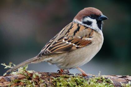 Sparrow Sitting On Wood