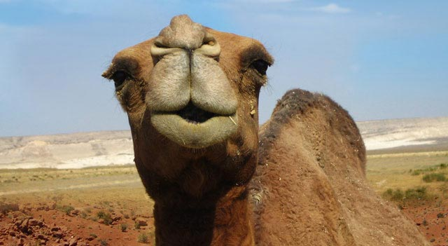 Camel Pictures