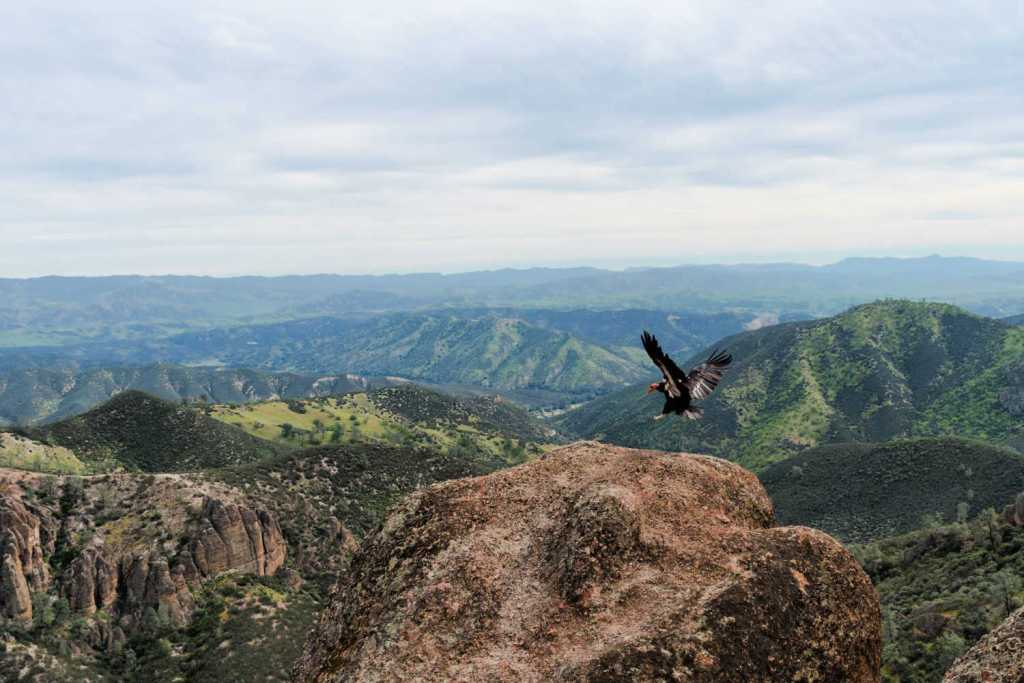 california condor flying in pinnacles national park