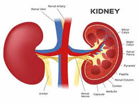 Kidney Disease and its Symptoms and Remedies