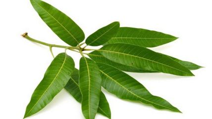 Mango Leaves is easy home remedies to control diabetes.