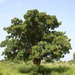 Burro di Karitè si ottiene dall'albero della giovinezza
