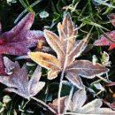 rosengarten-eisblatt