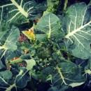 Bio-angewandter Klimaschutz Brokkoli