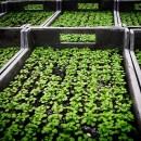 Bio-angewandter Klimaschutz Feldsalat