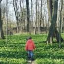 darumgrüner-Frühling Bärlauch