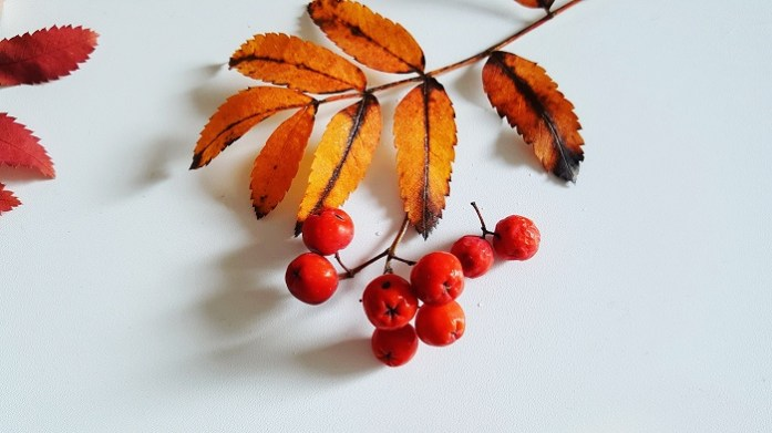 Leuchtend rote Früchte der Eberesche