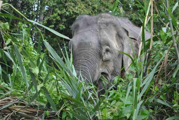 wild elephant sukao