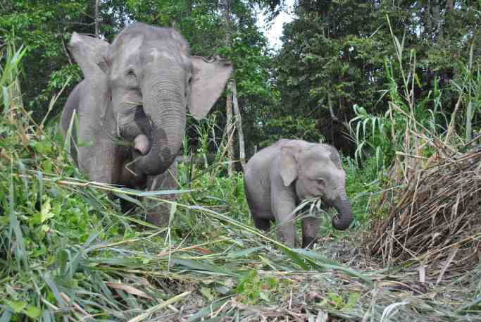 asian pygmy elephants