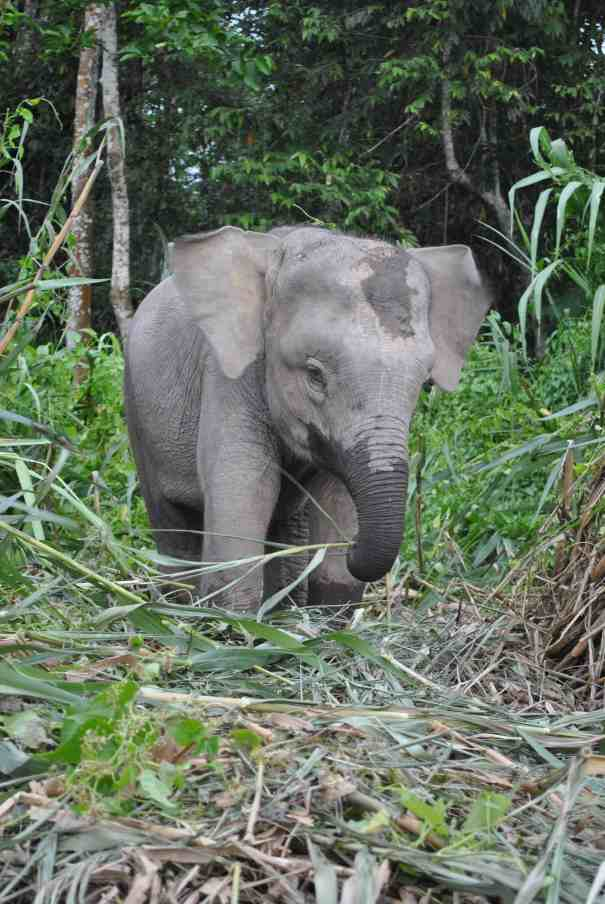 baby pygmy elephant borneo