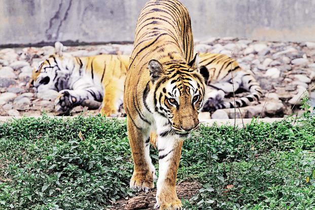 Project Tiger got `167.7 crore of the `340.06 crore allocated to wildlife preservation in the last budget. Photo: Anupam Nath/AP<br /><br />
