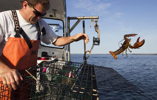 Fisherman in northern New England have been catching record numbers of lobsters, but south of Cape Cod, the lobster population has plummeted to the lowest levels ever seen, in a northward shift that scientists attribute in large part to the warming of the ocean. Photo: AP