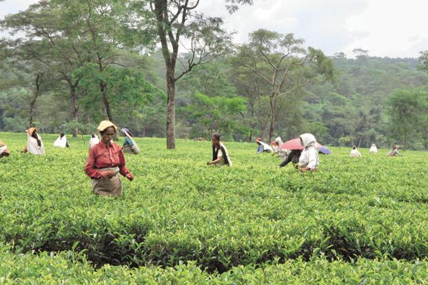 Workers pluck tea leaves at a garden in West Bengal's Darjeeling district. In the nine months till the end of December, McLeod Russel's finance cost had gone up to Rs121.67 crore from Rs88.19 crore in the same period a year earlier—a jump of 38%.
