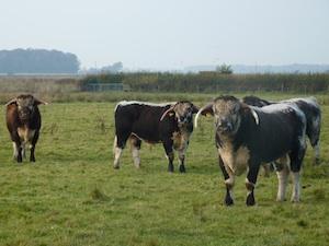 Grass Fed Longhorn Cattle
