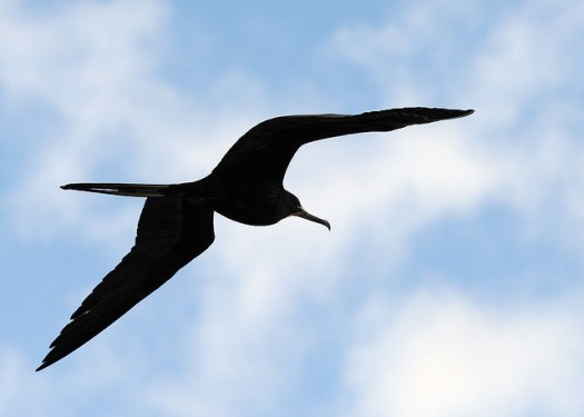 Flying Frigate bird