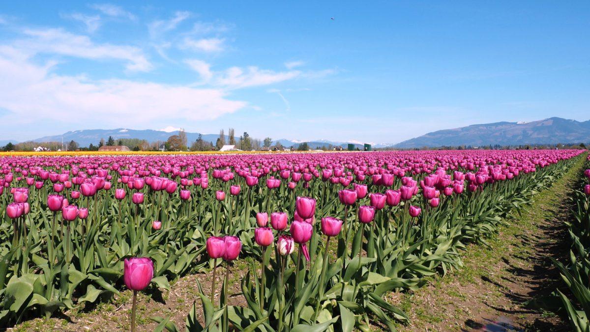 Expat Escapades April 2016: Skagit Valley Tulip Festival 2016 - LiveRecklessly.com