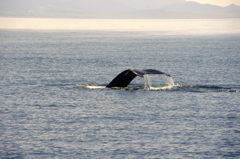 Whale Watching in the San Juan Islands is an amazing experience. To read more visit LiveRecklessly.com