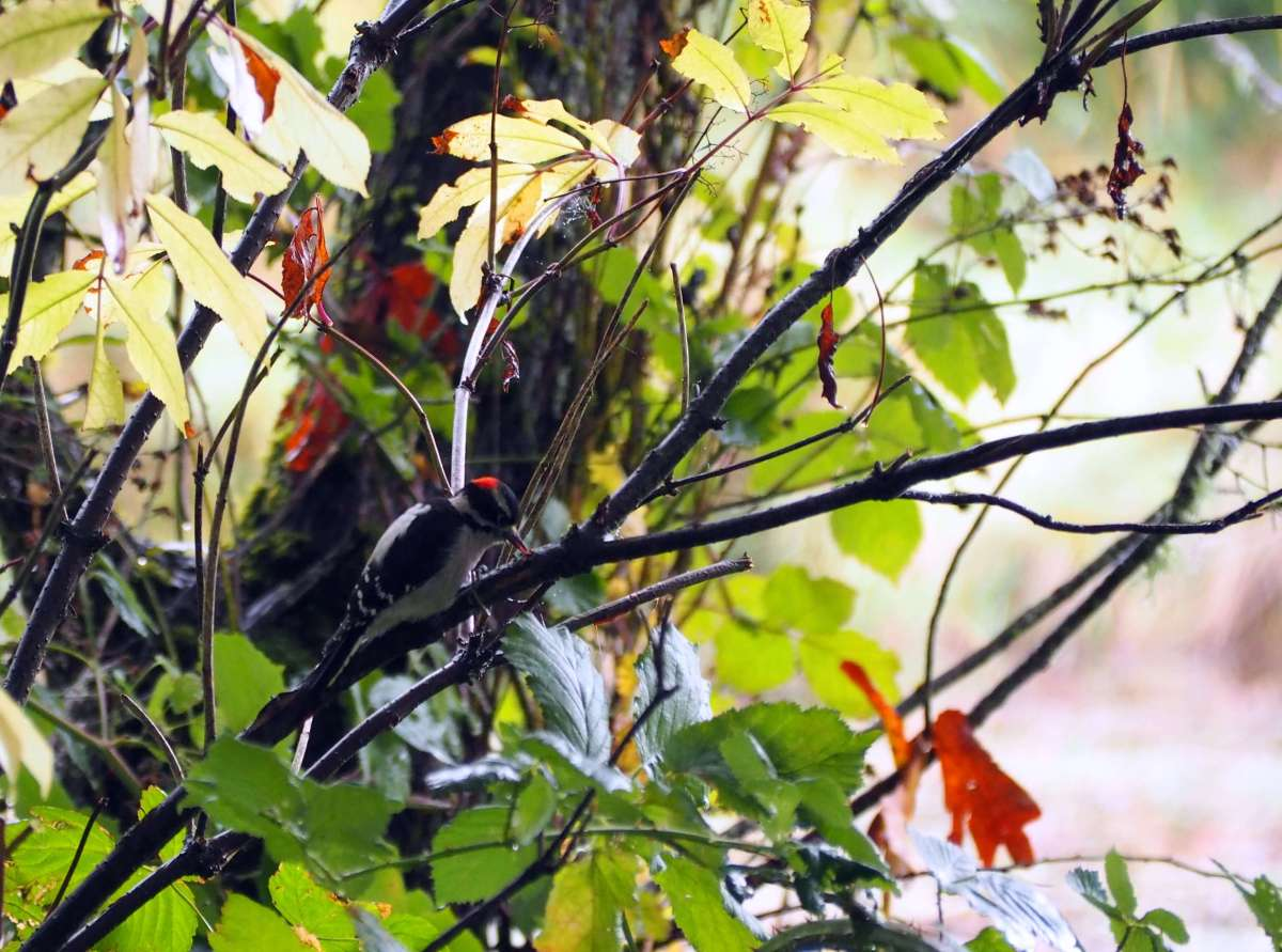Woodpecker at Nisqually Wildlife Refuge - A rainy weekend in Olympia, Washington's funky capital city - LiveRecklessly.com