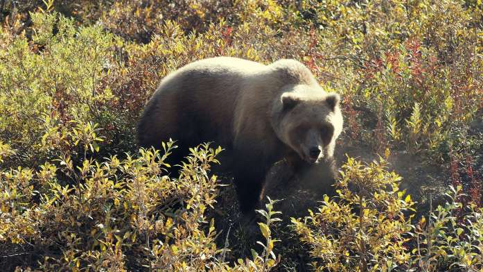 Alaska in Photos - brown bear - Live Recklessly
