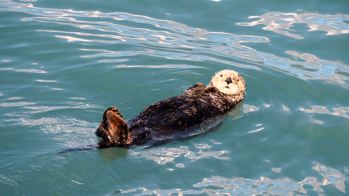 Alaska in Photos - sea otter - Live Recklessly